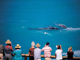 Whale Watching At Head Of Bight - C Tourism