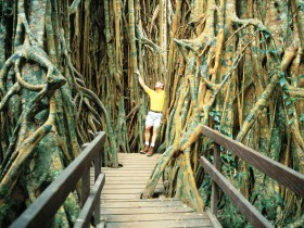 Curtain Fig Tree - C Tourism