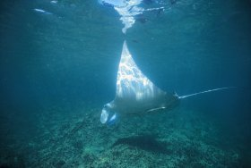 Manta Ray Bay Dive Site - C Tourism